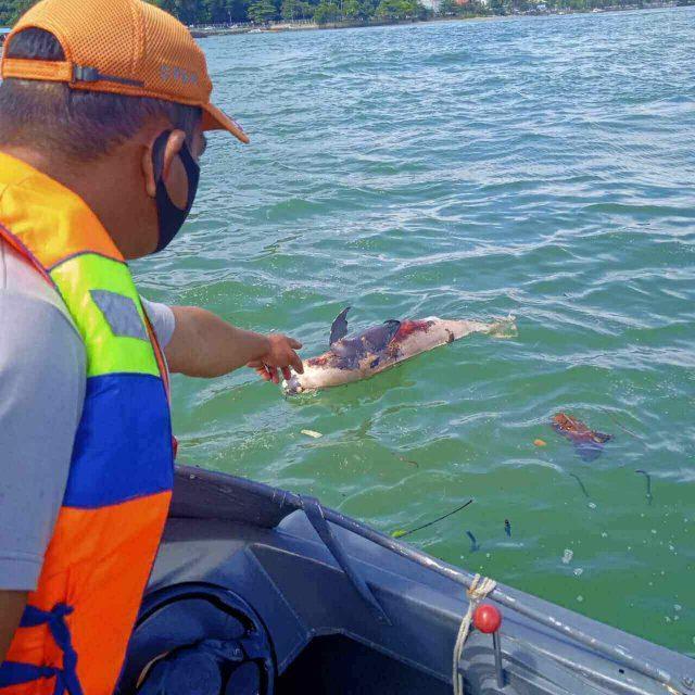 Seekor Lumba-Lumba Tanpa Sirip Punggung Ditemukan Mati di Perairan Teluk Balikpapan