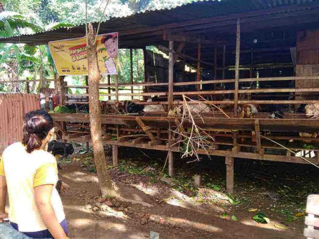 penjual hewan mengalami penurunan drastis kurban merana