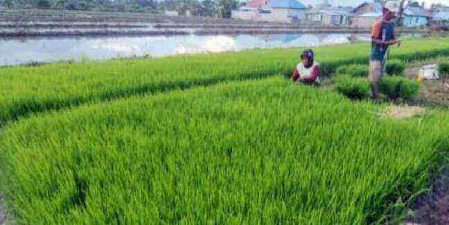 ppu lumbung padi kaltim, petani lahan pertanian di Babulu berharap pembangunan telake segera
