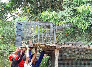 Monyet Masuk Plafon Rumah, Petugas Damkar Pancing dengan Pisang