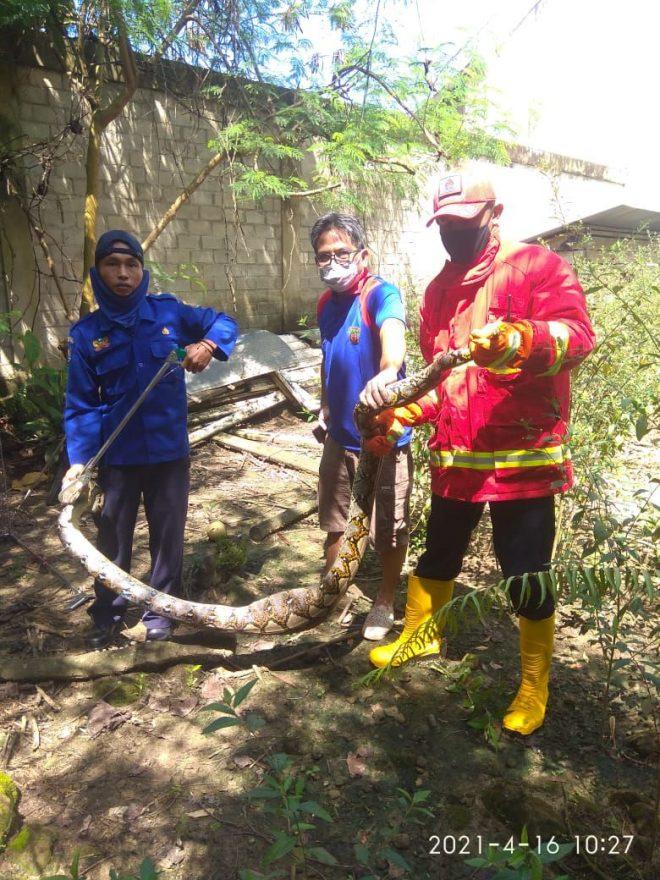 3 Ekor Ular dan Seekor Monyet Dievakuasi dari Permukiman
